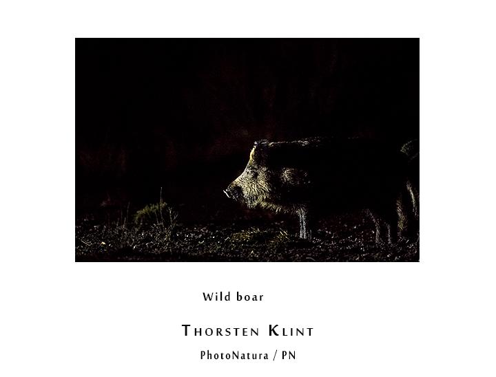 -Wild-boar-klintphoto